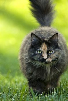 long haired tortie