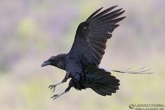 Common Raven 130418