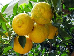 Lemons, Yuzu lemon (Citrus × junos 'Yuzu', Citrus cavaleriei × Citrus sunki Tanaka)  http://users.kymp.net/citruspages/lemons.html