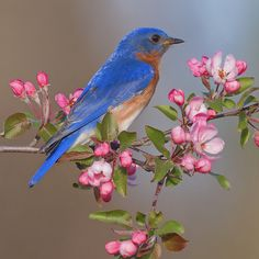 Bluebird on flowering crab blossoms