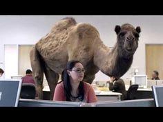 GEICO : Hump Day Camel Commercial, I love this commerical HUMP DAAAAAAAAY