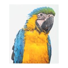 #Posters #Metal #Art - #Blue and Gold Macaw Metal Print