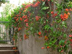 Trumpet vine cascading over retaining wall.