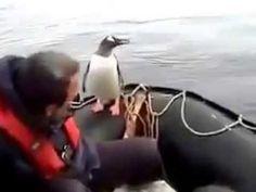 #Пингвин  спасается от #касатки среди людей! #Penguin escapes from #kill...