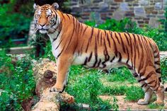 Tiger is listed (or ranked) 52 on the list The World's Most Beautiful Animals
