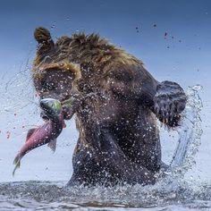 Brown Bear - Amazing Wildlife Animals Portrait Photography by Jon Langeland Fishing Photography, Wildlife Photography, Animal Photography, Portrait Photography, Underwater Photography, Wild Life, Bear Fishing, Salmon Run, Photo Animaliere