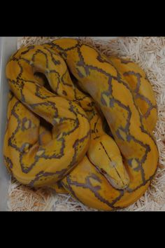 Purple sunfire albino retic Prehistoric Pets