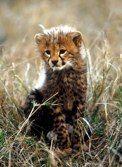 Cheetah Cub, Masai Mara, also extremely cute!!