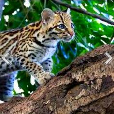 Who knew helping Molly with her homework we would learn the ocelot is such an absolutely gorgeous animal, is it bad I think it would make a beautiful blanket! Serval Cats, Ocelot, Cute Creatures, Cute Baby Animals, Wild Animals, Beautiful Cats, Crazy Cat Lady, Cat Breeds, Big Cats
