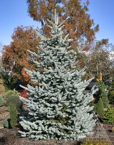 Picea pungens 'Hoopsii' is a stately tree with perhaps the brightest powder blue color by which other blue spruce are compared.