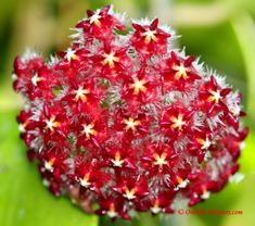 A red Hoya mindorensis Schltr. 1906 was the first waxflower of the Hoya mindorensis species, which has been found in the Philippines. Hoya mindorensis plants are available in several colors. The beautiful flower balls get a size of about 10 cm in diameter.