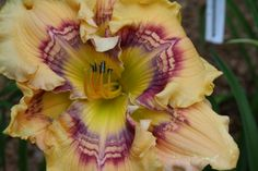 Cloak of Righteousness Sandy Nall's 2015 Intros - Bayou Bend Daylilies