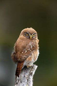 Pygmy owl, Lake Grey, Torres del Paine National Park, Patagonia, Chile  © Jim  Zuckerman