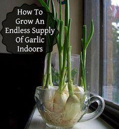 32 Ways to Create the Best Indoor Herb Garden : Endless Flavor: Grow Garlic Indoors! Gardening For Beginners, Gardening Tips, Kitchen Gardening, Flower Gardening, Gardening Shoes, Bucket Gardening, Gardening Courses, Culture D'herbes, Regrow Vegetables