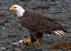Image from https://upload.wikimedia.org/wikipedia/commons/1/1e/2010-bald-eagle-kodiak.jpg.