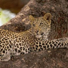 A young leopard cub lays high up a tree, watching his sister play nearby.