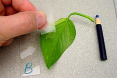 Leaves and Stomata biology lesson