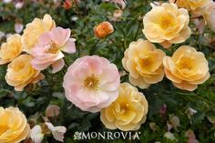 'Amber' Carpet Rose. Try mass planting with 'Violet Intrigue' Lavender as a border. It's on this board.
