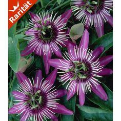 Winterharte Passionsblume 'Ladybirds Dream', 1 Pflanze - BALDUR-Garten GmbH
