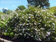 Solanum jasminoides, ev, 4 m x 0.5 m