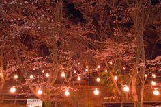 温水プール脇の桜、ライトアップ(2013.4.4)