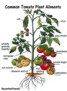 Tomato Garden Tips Tomato troubles - diseases and organic remedies. Also a basic companion planting chart.Tomato troubles - diseases and organic remedies. Also a basic companion planting chart. Veg Garden, Edible Garden, Lawn And Garden, Garden Plants, Vegetable Gardening, Garden Tomatoes, Greenhouse Tomatoes, Greenhouse Plants, Vegetables Garden