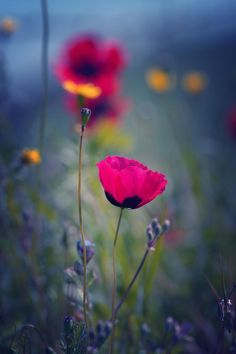 Poppies by Emma Marashlyan My Flower, Pink Flowers, Beautiful Flowers, Flower Bokeh, Gorgeous Gorgeous, Pink Poppies, Simply Beautiful, Beautiful Things, Jolie Photo