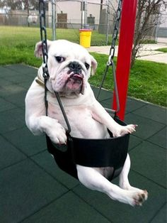 bulldog on a swing