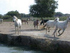 The Camargue - wild horses