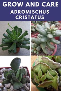 Learn how to grow and care for the adromischus cristatus. Types Of Succulents, Planting Succulents, Provinces Of South Africa, Succulent Care, Plant Species, Plants, Plant, Planets