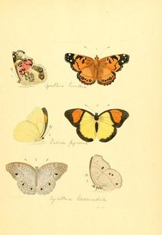 Plate of Lepidoptera taken from 'Illustrations of Exotic Entomology' by Dru Drury and J. Westwood. Published 1837 by H. G. Bohn in London archive.org