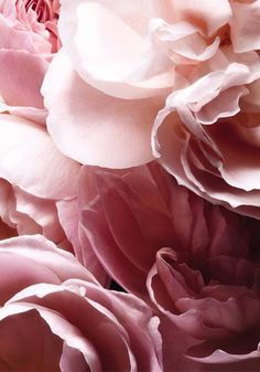 Barely Rose is built around a bouquet of white petals, highlighted by natural roses and structured with pink peppercorn. Pretty In Pink, Pink Flowers, Beautiful Flowers, Roses Pink, My Flower, Flower Power, Blue Dream, Tea Roses, Pink Aesthetic