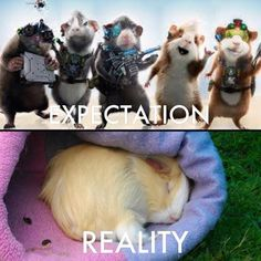 Expectation vs realty with #guineapig care-taking
