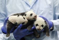 Giant panda triplets turn one-month-old at Chimelong Safari Park in Guangzhou, Guangdong province August 28, 2014. According to local media, they are the fourth set of giant panda triplets born with the help of artificial insemination procedures in China, and the birth is seen as a miracle due to the low reproduction rate of giant pandas. (Photo by Alex Lee/Reuters)