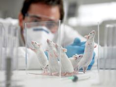 Lab mice make poor models for real-world immune systems | #Science