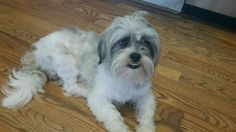 Meet Dusty, an adopted Shih Tzu Dog, from PAAW - Pet Adoption Alternative Warren in Warren, MI on Petfinder. Learn more about Dusty today. Found Cat, Shih Tzu Dog, Pet Adoption, Meet, Cats, Animals, Gatos, Animales, Animaux