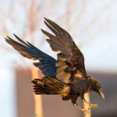 """acqua-di-fiori: """" Raven Photographer: Paul Lantz """""""