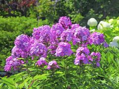 Perennials 17 Easy to Grow Perennials for a Blossoming Backyard - Article with a detailed list of 17 easy to grow low maintenance perennials. For a long blooming flowering and ground covering greens. Suitable to be planted in pots or containers. Flowers Perennials, Planting Flowers, Farm Gardens, Outdoor Gardens, Phlox Perennial, Landscaping A Slope, Landscaping Ideas, Patio Ideas, Low Maintenance Shrubs
