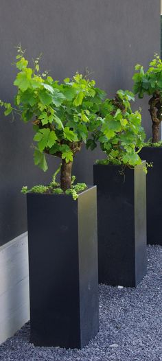 Grape vines in modern planters. Just perfect for a modern garden. Plantas Indoor, Contemporary Planters, Modern Planters, Plantation, Garden Planters, Tall Planters, Black Planters, Square Planters, Backyard Landscaping