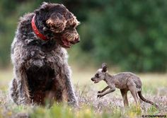 Rex, the dog, found a dead kangaroo in the road. Amazingly, one of its joeys was alive in its mother's pouch. Rex rescued the joey, took it home, and dropped it at his owner's feet.    The Guardian reports that this dog and baby kangaroo are now best friends