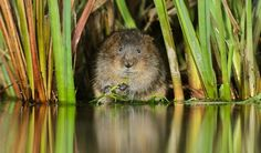 Water Vole - ©Terry Whittaker 2020VISION
