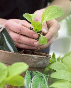 Chinakohl In Nordeuropäischen Gärten Anpflanzen ? Pflanzen Tipps ... Chinakohl Pflanzen Tipps Garten Pflege