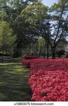 azalea, Augusta, GA, Georgia, Beautiful red/pink azalea bushes line Broad Street…