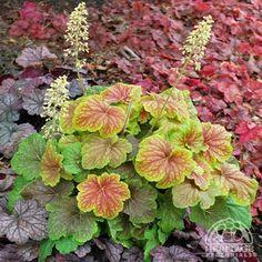 HEUCHERA hybrid 'Delta Dawn' - Alunrod, farve: hvid/lime/rødbrunt løv, lysforhold: sol/halvskygge, højde: 50 cm, blomstring: juni - juli, god til bunddække, velegnet til snit.