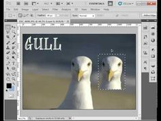 how to use the Marquee Tool in Photoshop (how to copy bird face)