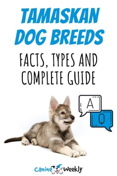If you are interested in learning more about this powerful, highly intelligent and active dog, keep reading for a complete guide to the Tamaskan dog breed.