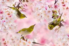 ~ We Love Cherry Blossoms   我們愛櫻花 ~ 鳥類名稱 Bird Name: Japanese White-eys. 綠繡眼. 學名…