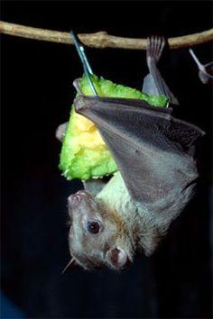 Bat eating dinner