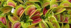 Plantas Carnívoras - Aprenda em 07 passos como cultiva-las   As plantas carnívoras São plantas com alta capacidade de atrair pequenos animais, incluindo insetos (principais presas), aracnídeos e até mesmo anfíbios, répteis e aves, capturar (através de armadilhas compostas por fohusaus odificadas), digerir (atrav... - http://www.canetaespia.com.br/ecoblog/2017/05/20/plantas-carnivoras/