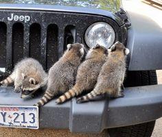 Little bandits (racoons)